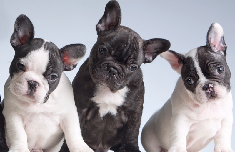 Few Things To Be Known Before Getting A Frenchie Dog